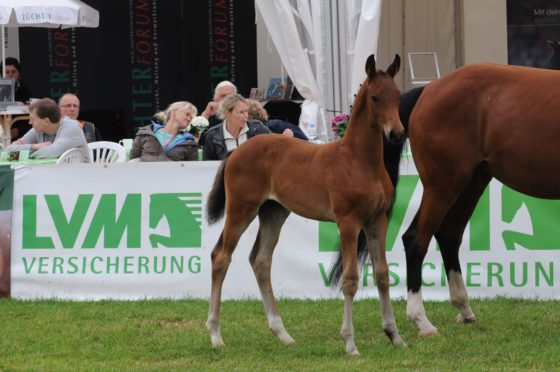 Morricone-colt becomes Reserve-Champion in Lienen