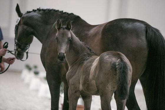 Fohlenschau und Stutbuchaufnahme des Pferdezuchtvereins Havelland